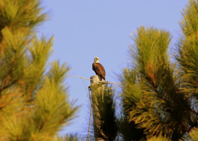 Eagle at Pinckney Island