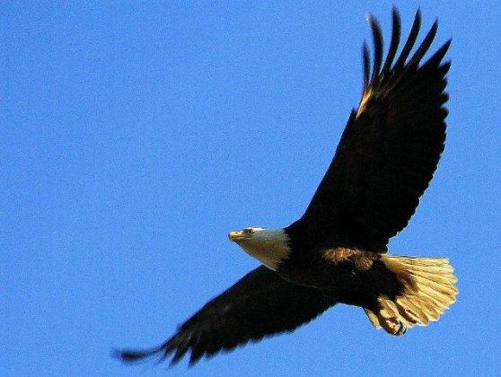 Eagle at Pinckney Island