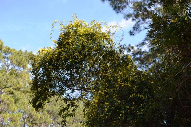 South Carolina State Flower-Carolina Jasmine