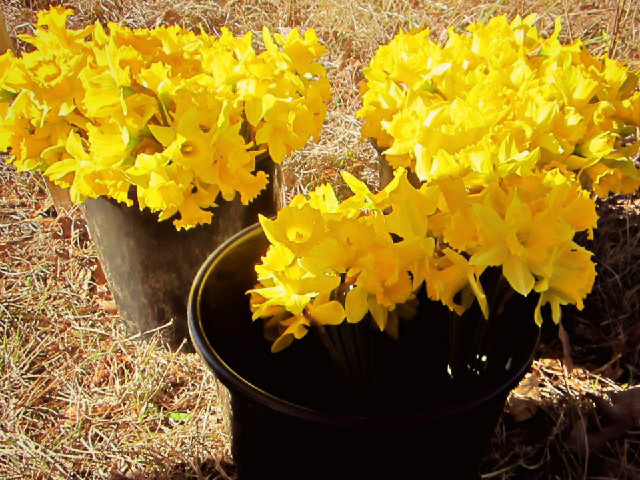 Photo courtesy of U-Pick-Daffodils