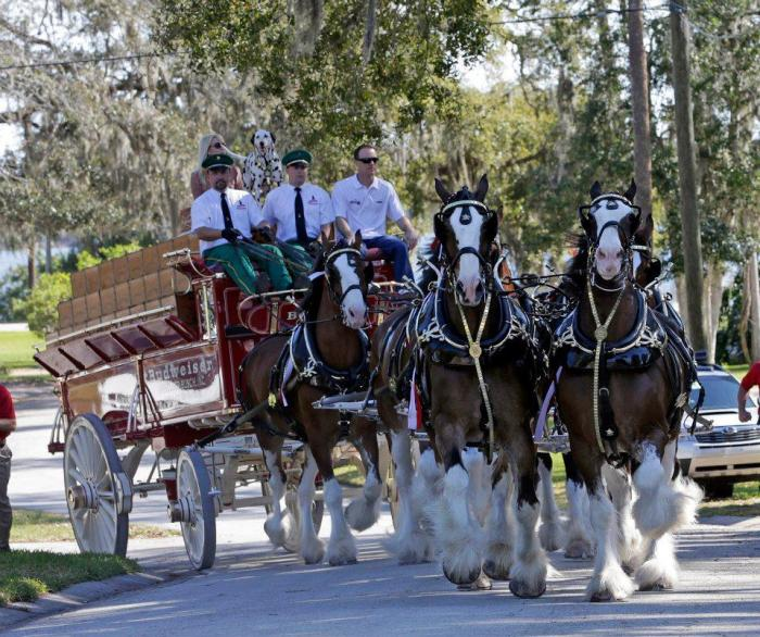 The Budweiser Clydesdale's in the Hilton Head Island St. Patrick's Day Parade!