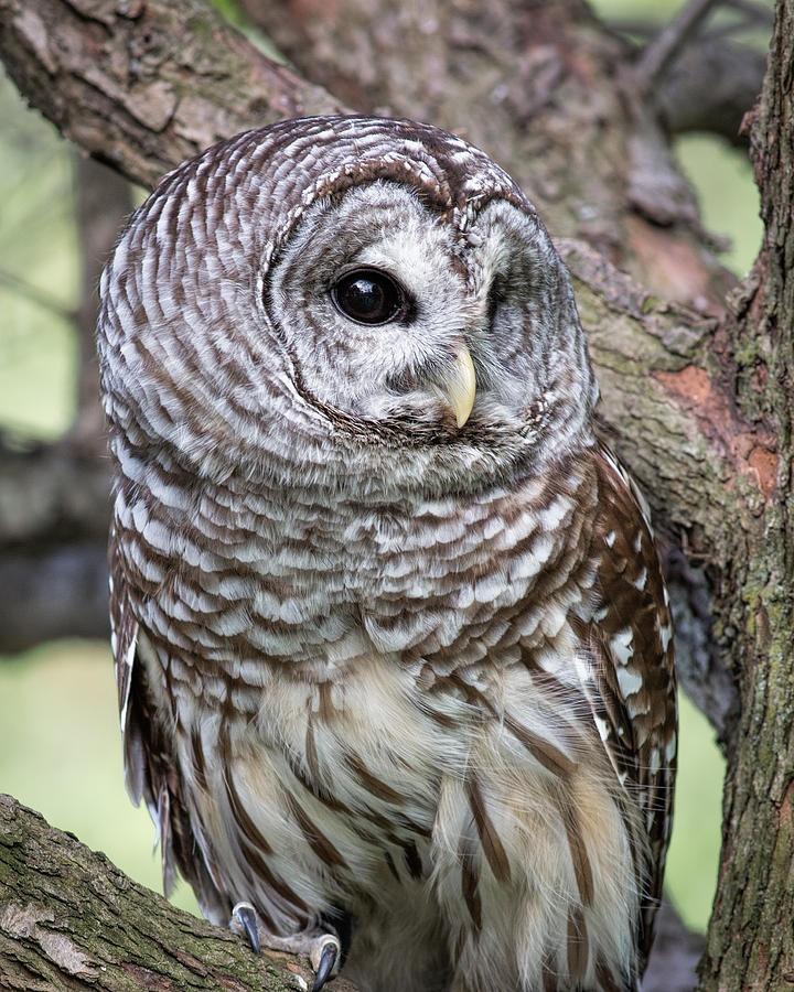 Hilton Head Owl