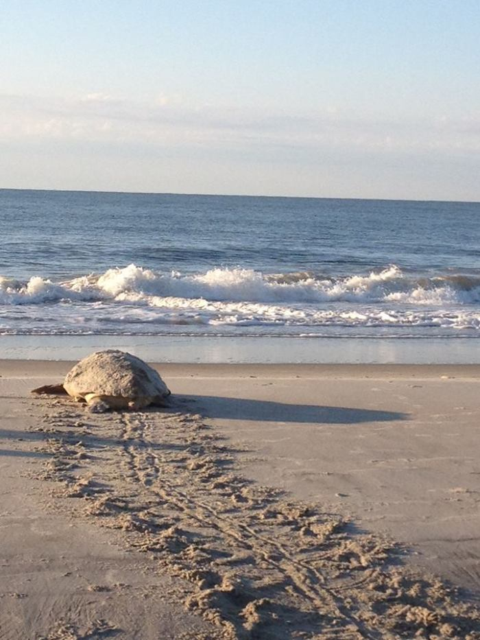 Turtle Nest Hilton Head