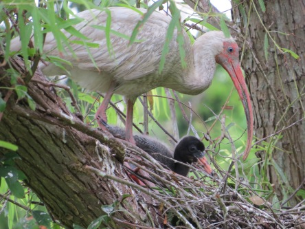 Female White Ibis with Chick taken at Pinckney by our own wildlife expert, Karen Marts.