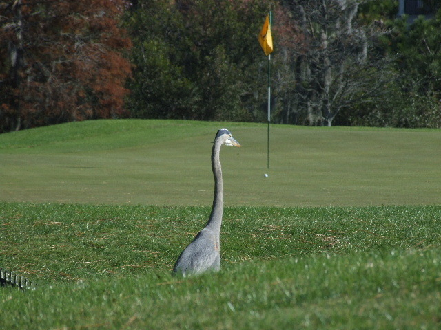 egret on golf course