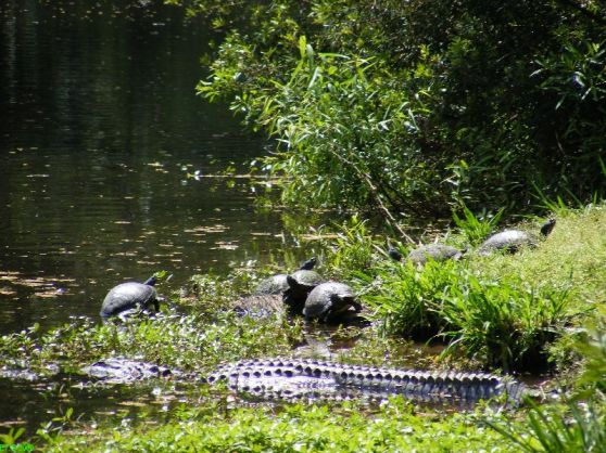 fp alligators