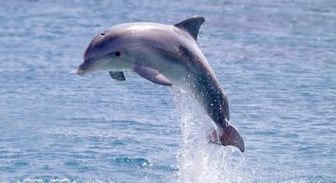 dolphin-kristian-sekulic-isp
