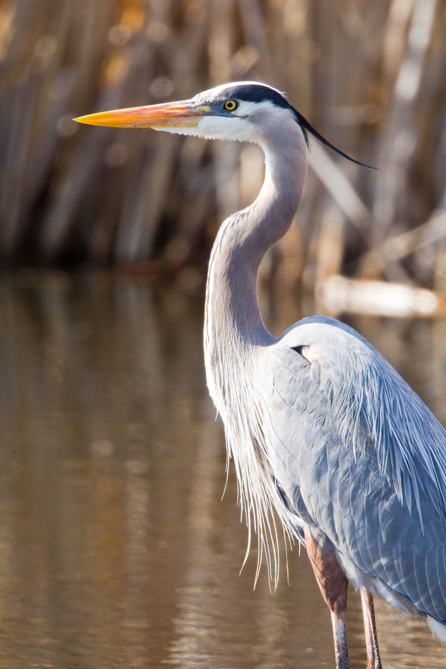 great-blue-heron_rebecca-field.jpg