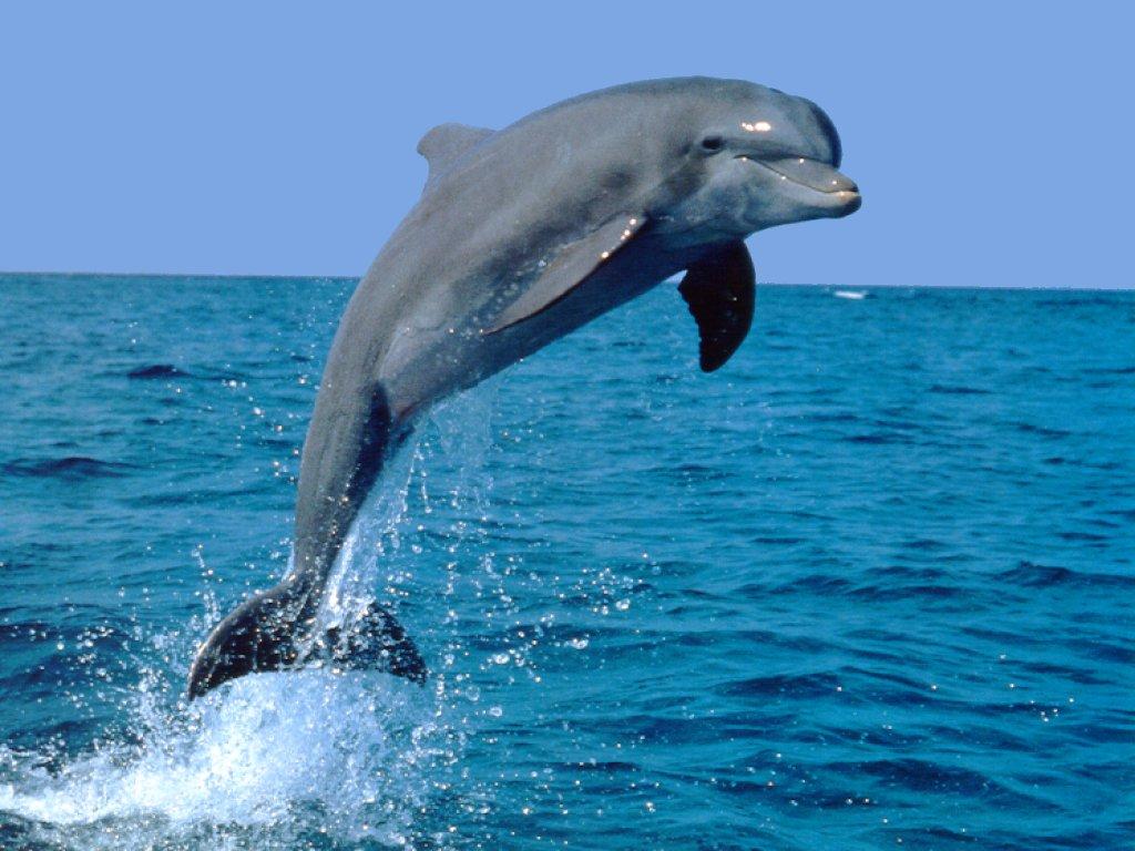 jumping-bottlenose-dolphin.jpg