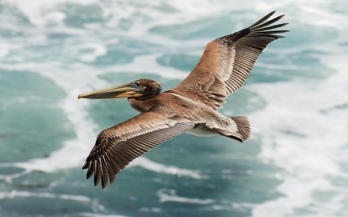 Juvenile_pelecanus_occidentalis_in_flight.jpg