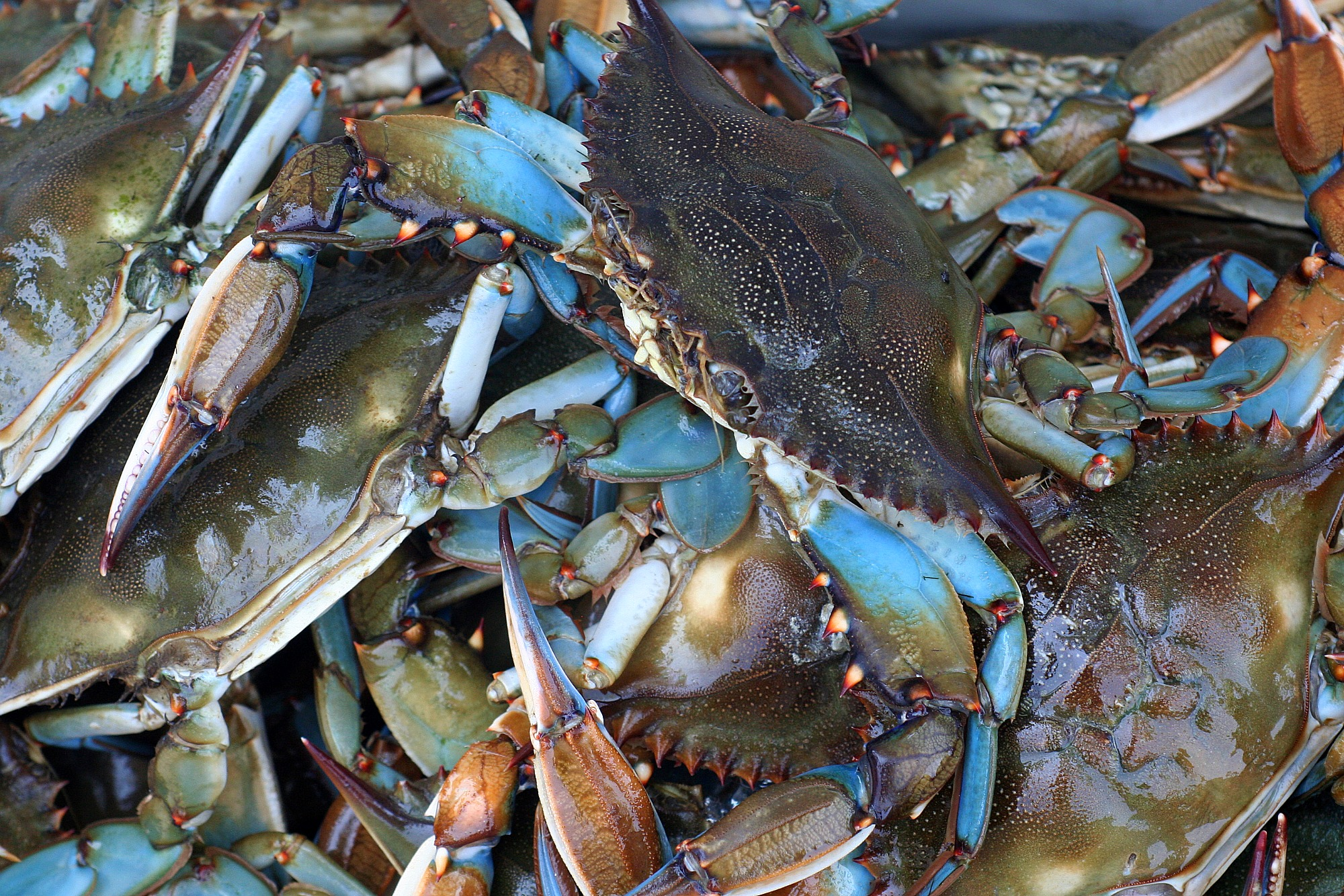 maryland-blue-crabs3.jpg
