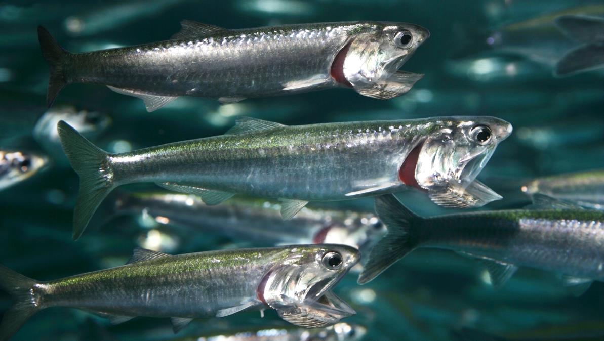 northern-anchovy.jpg