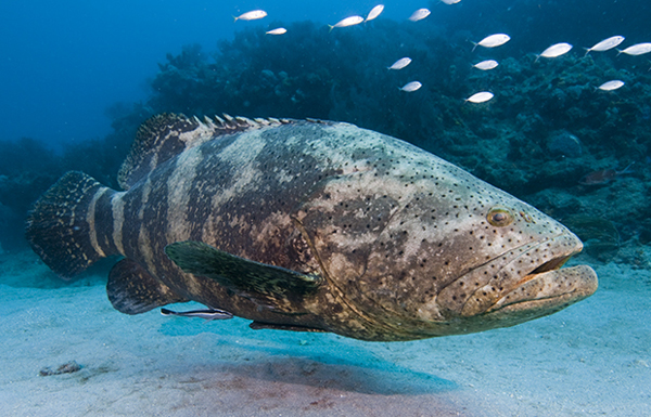 Goliath-Grouper.jpg