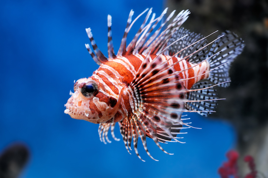 LionfishInvasiveSpecies.jpg