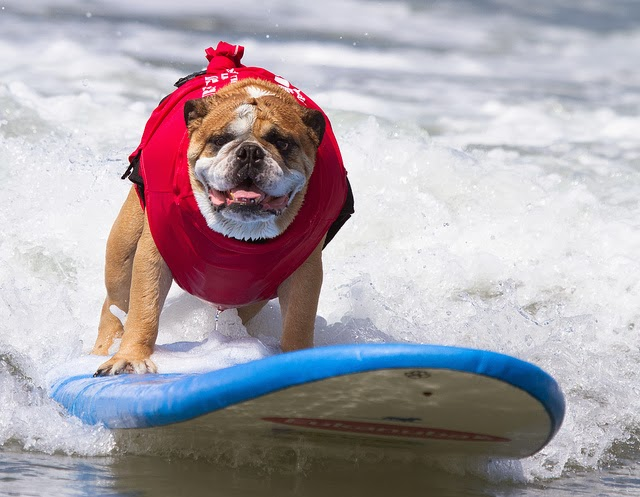 Surf City Surf Dog surfer surfing 25