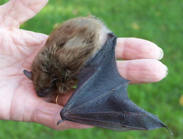 Low Country bat